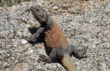 chuckwalla lizard photo